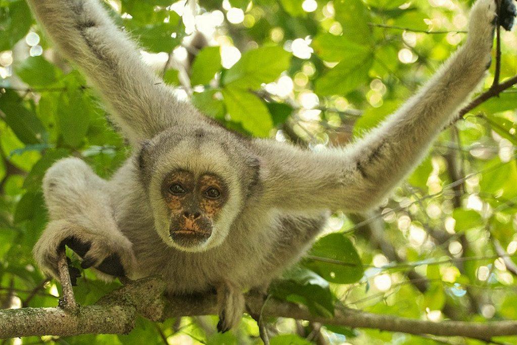 Muriqui-do-norte, um dos animais classificados como criticamente em perigo de extinção. Foto: Peter Schoen/Flickr
