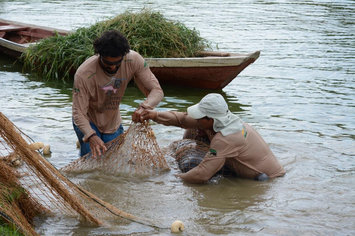 Peixe-boi sendo monitorado no semi-cativeiro do inpa. Foto: Vandré Fonseca.