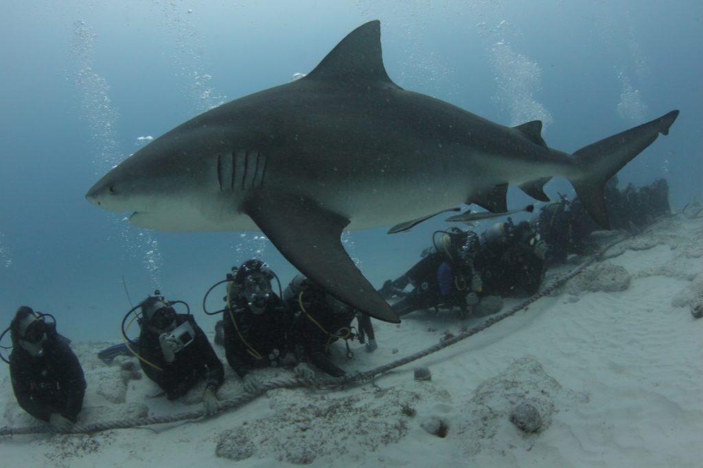 Tubarão cabeça-chata e mergulhadores na área marinha protegida de Playa del Carmen, México. Foto: Jorge Loria/Phantom Divers.