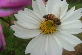 As abelhas são os principais polinizadores que sofrem declínio da sua população no mundo. Foto: Ana Guzzo/Flickr.