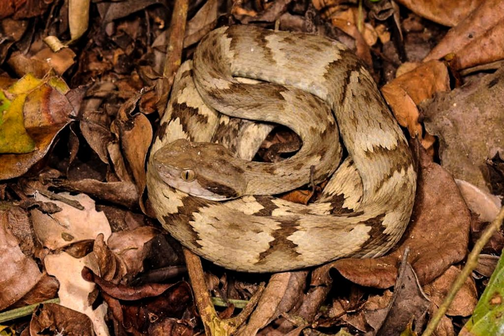 jararaca-bothrops-sazimai