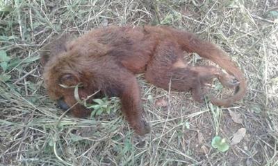 Bugio morto a tiros em Manhuaçu, Minas Gerais. Confundidos como causadores da febre amarela, muitos primatas são assassinados durante surto de febre amarela. Foto: Portal Caparaó/Facebook