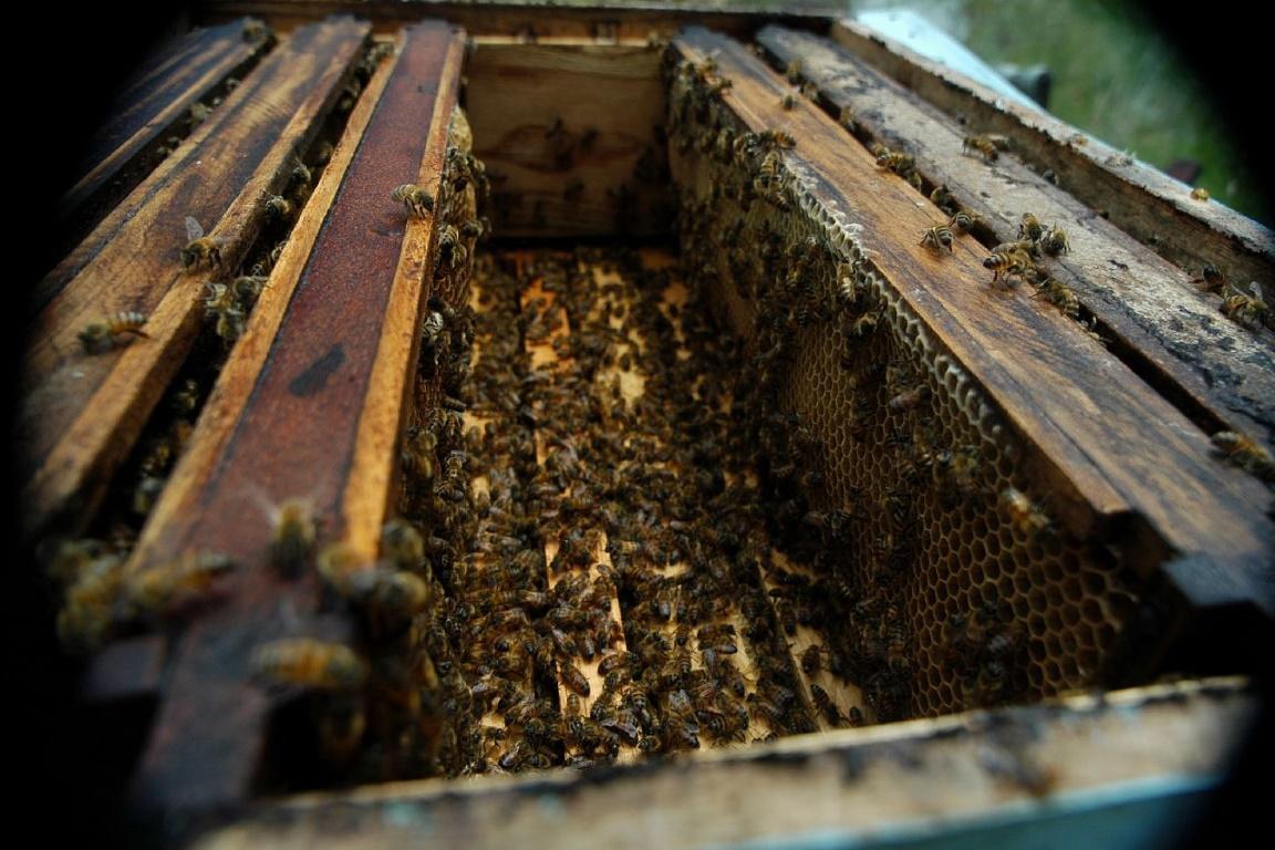 Cerca de 10 milhões de abelhas morreram em menos de uma semana em Porto Ferreira, São Paulo. Foto: Roberto Vinícius/Flickr.