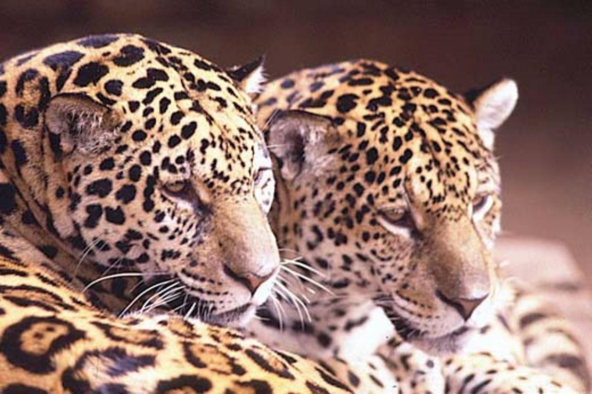 As irmãs Isa e Fera foram reinseridas na natureza numa ação conjunta e bem- sucedida do ICMBio e do Projeto Onçafari. Foto: ICMBio