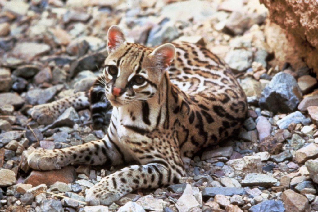Apesar de ser maior do que os outros gatos selvagens, jaguatirica não afasta outros felinos. Crédito:Tom Smylie, US Fish & Wildlife Service.