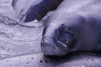 O peixe-boi amazônico é uma espécie ameaçada de extinção. Perigo aumentado com a construção de barragens hidrelétricas na bacia amazônica. Foto Amanda Lelis.