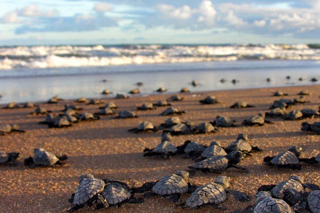 Verão coincide com a época de desova das tartarugas marinhas. Foto: Divulgação/ICMBio.