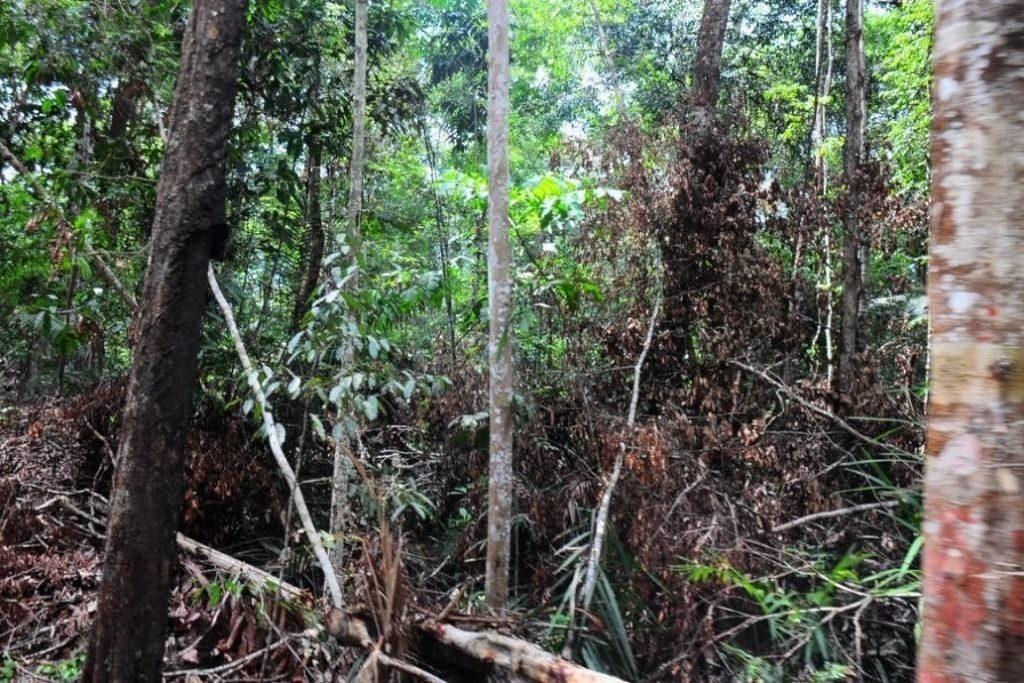 Depois de degradada com o manejo florestal, a mata se recompõe de maneira que impossibilita a incursão dos quilombolas e ribeirinhos para caça, coleta e extrativismo. Foto: Ítala Nepomuceno/MPF (out. 2015).