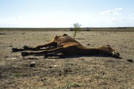 Carcaça de vaca no interior da Bahia durante a seca recorde. Foto: Marcelo Casal Jr./Agência Brasil.