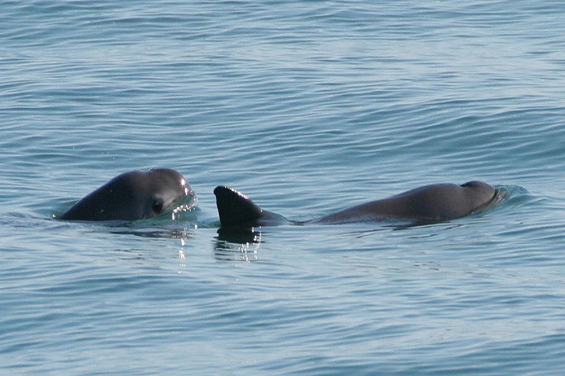 Vaquita marinha. Foto: Paula Olson/Wikipedia.