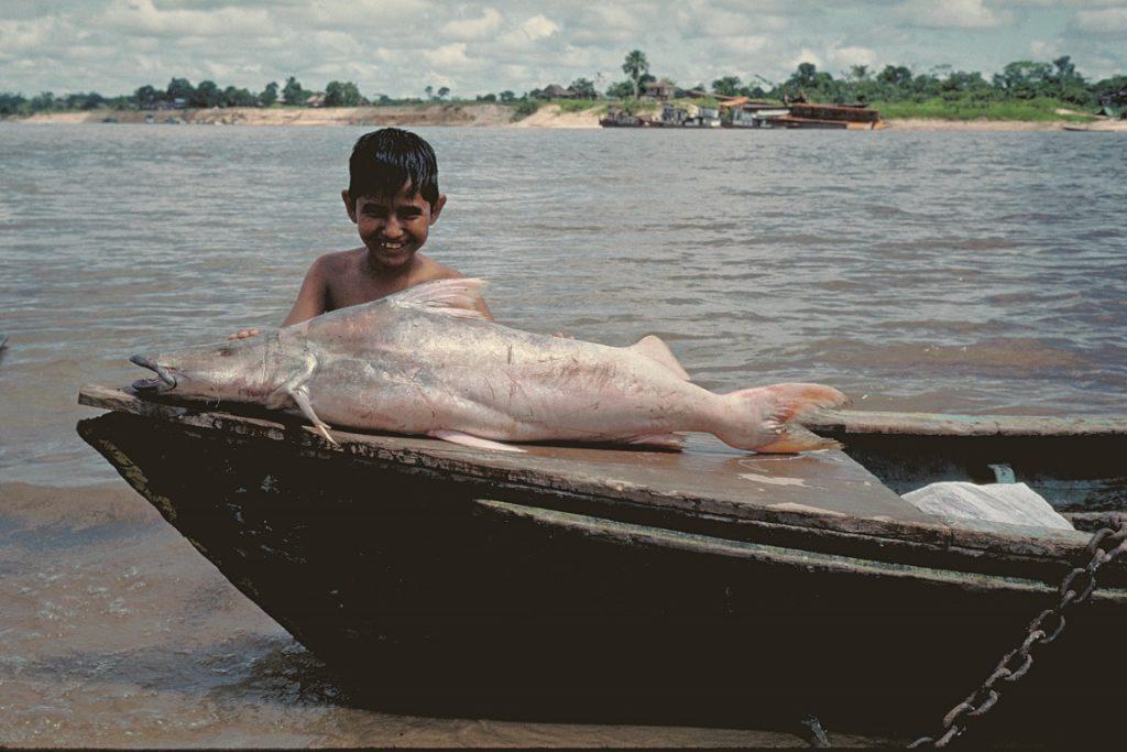 Bagre amazônico recebeu o nome devido à coloração dourada, mas é também uma recordista: tem a maior rota migratória do mundo entre peixes de água doce. Foto: Michael Goulding.