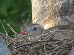 Siriema à espreita no ninho.