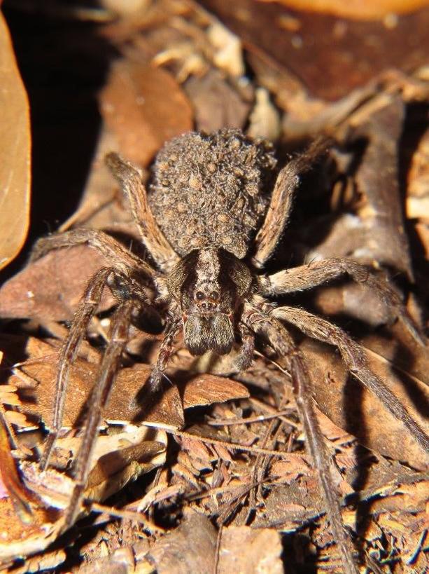 Aranha da família Lycosidae carrega os filhotes.