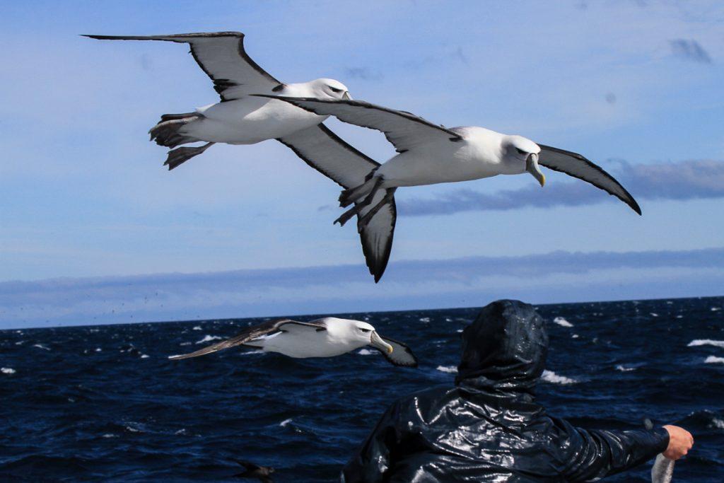Albatrozes-de-coroa-branca Thalassarche steadi acompanham o barco onde fiz uma saída pelágica em Stewart Island, no sul da Nova Zelândia, esperando um lanchinho. Este momento será inesquecível para quem estava ali.