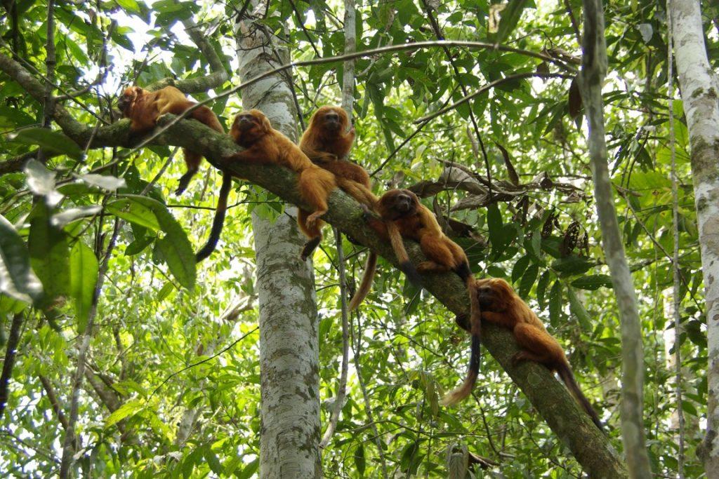 Ocorrência de febre amarela é registrada perto de santuário dos micos-leões-dourados. Foto: Andréia Martins/Associação Mico Leão Dourado