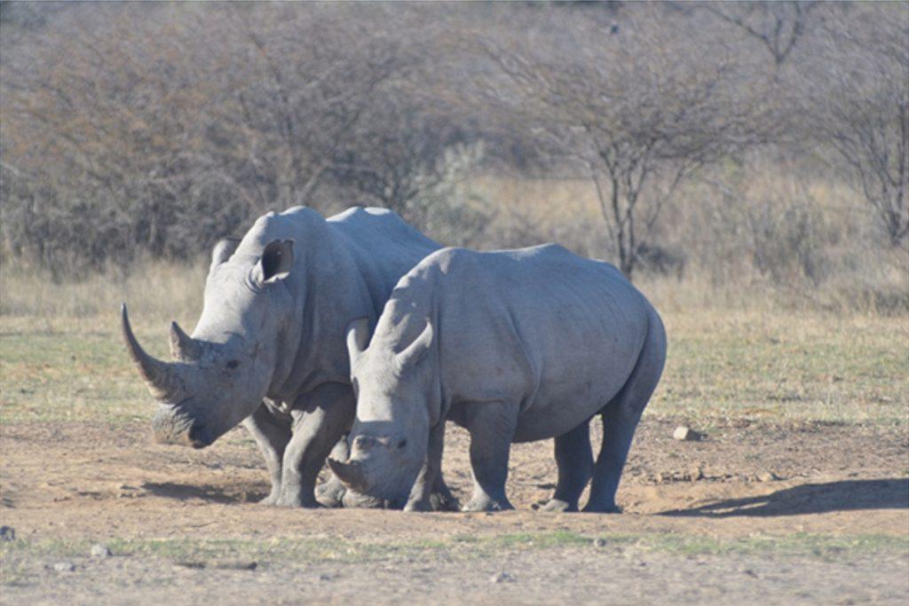 Rinocerontes brancos. Foto: Eric Murdock/Flickr.