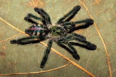 Legenda: As cores metálicas de um indivíduo juvenil do novo gênero de aranhas, Ybirapora. Essas são encontradas na Mata Atlântica. Foto: Rogério Bertani.