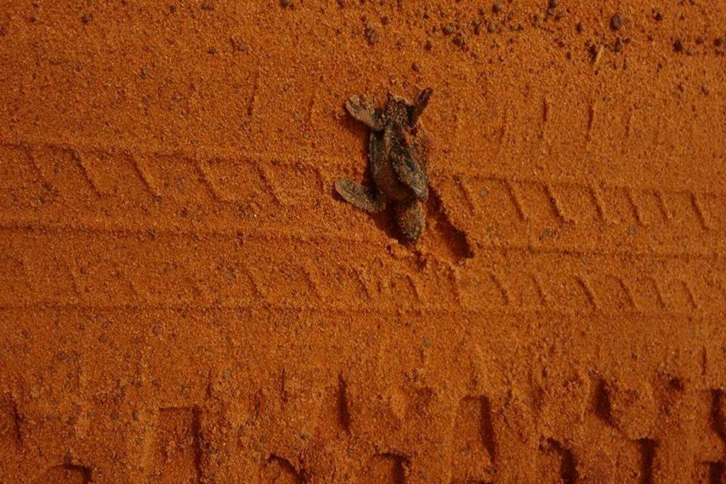 Filhote é morto tentando chegar ao mar. Foto: Arquivo da AMJUS/José Carlos.