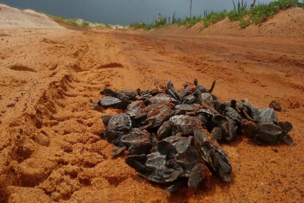 64 filhotes atropelados na praia de Tourinhos, em São Miguel Gostoso. Foto: Arquivo da AMJUS/José Carlos.