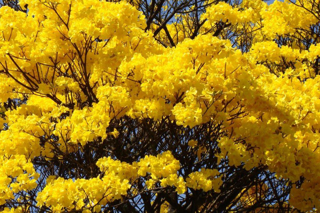 ipe-amarelo