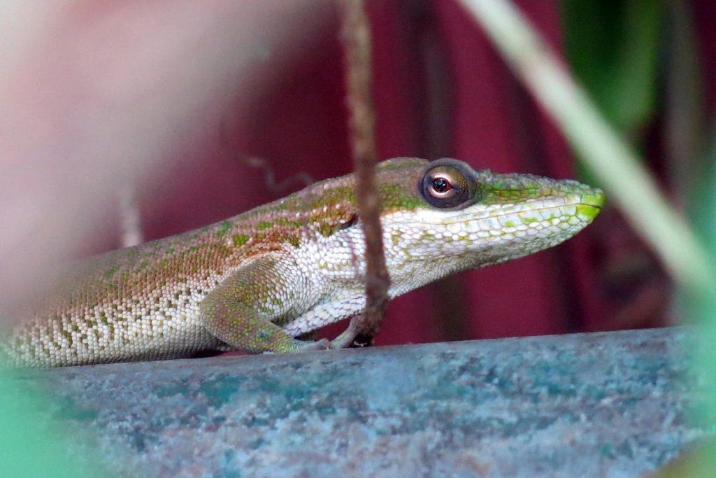 O lagarto foi encontrado em quintais e casas da Baixada Santista, mas pesquisadores temem que ele tenha se estabelecido em ambientes da Mata Atlântica. Foto: Ivan Prates.