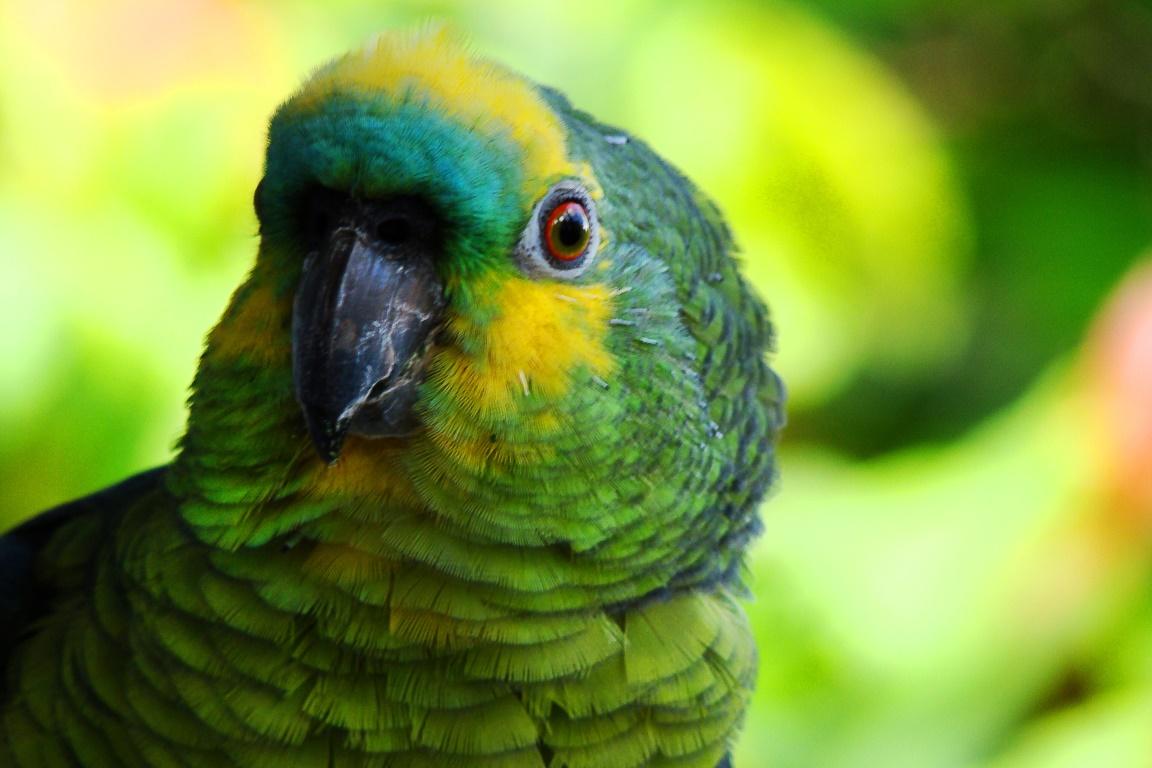 A cartilha faz parte das comemorações do Ano do Papagaio que se encerram ainda este ano. Foto: Anselmo Garrido/Flickr.