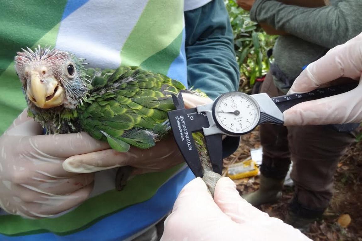 Biólogos do Projeto de Conservação do Papagaio-de-cara-roxa cadastram e monitoram os papagaios anualmente. Foto: Giovana Logulo.