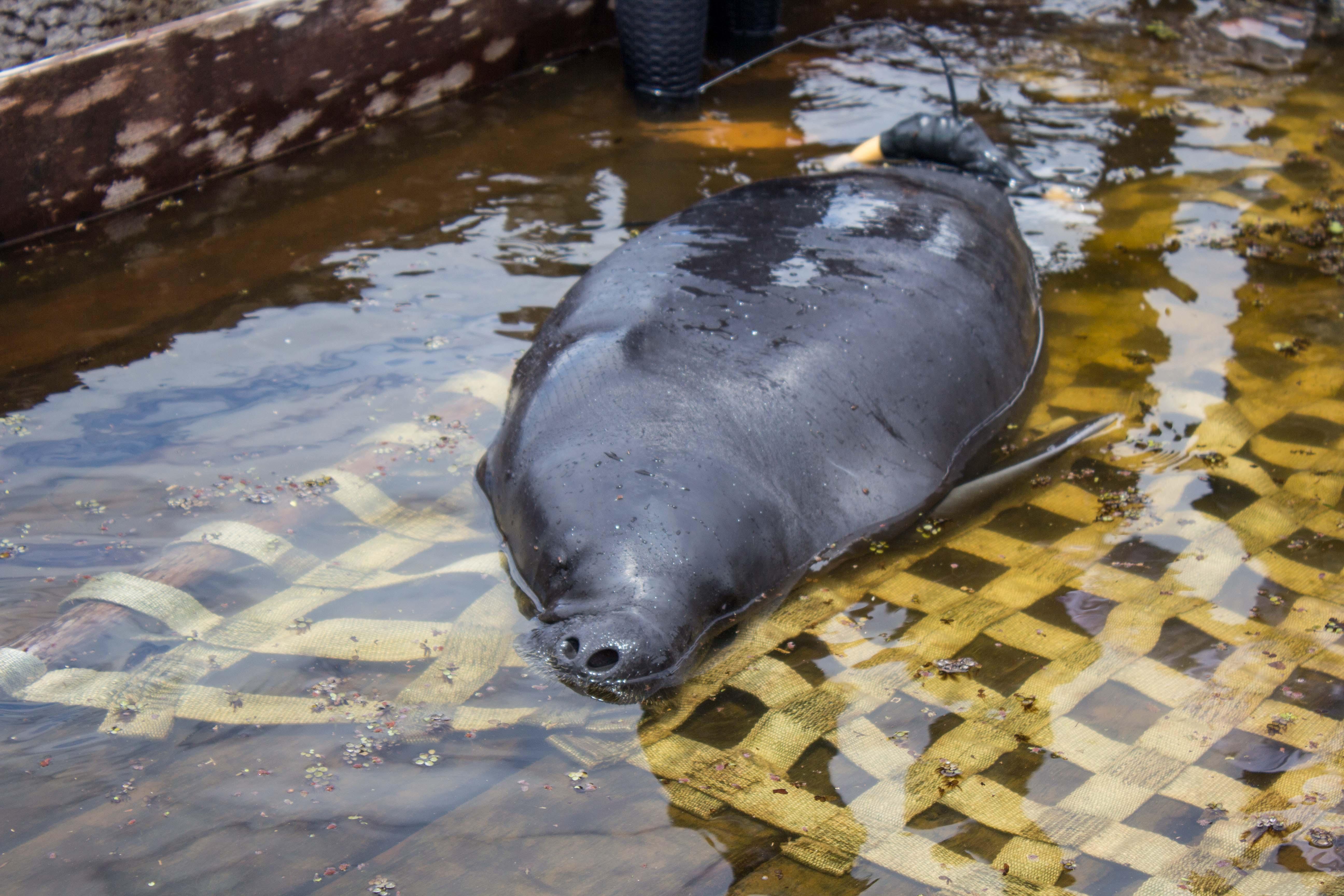 Depois de sete anos de recuperação, peixe-boi da Amazônia é solta
