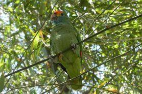 Papagaio-chauá. Foto: Carlos Garske.