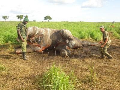 Guardas foram mortos ao surpreender criminosos que abateram um elefante. Acima, foto de uma carcaça de elefante caçado em maio de 2012.
