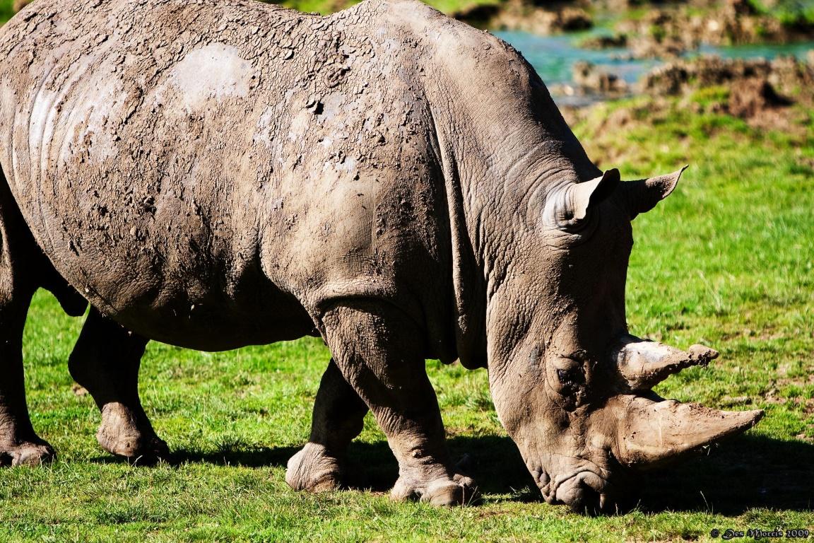 Tribunal sul-africano acaba com a proibição de venda de chifres de rinocerontes no país