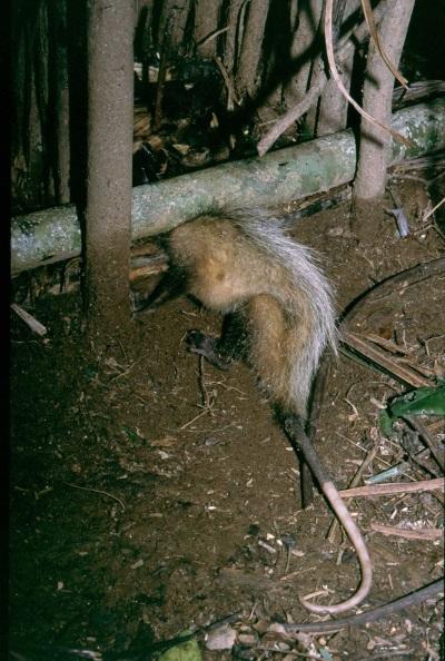 Crueldade animal. Um gambá sufoca lentamente em uma armadilha na área invadida por Guaranis no PE Intervales. Foto Fabio Olmos.
