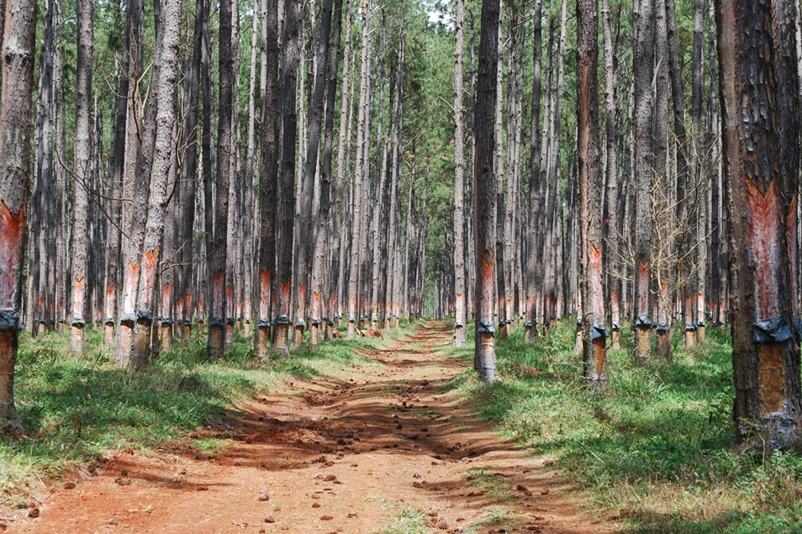 Floresta Estadual Paranapanema. Arquivo Instituto Florestal de São Paulo.