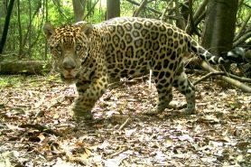Foto feita em 2016. Galego vive há anos na floresta de várzea da Reserva Mamirauá, mas só foi capturado e examinado agora. Foto: Registro de uma armadilha fotográfica do Instituto Mamirauá.
