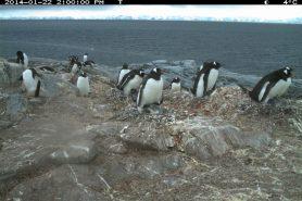 Imagem da câmera de lapso de tempo mostra pinguins-gentoo em áreas de reprodução no inverno. Crédito: T. Hart.