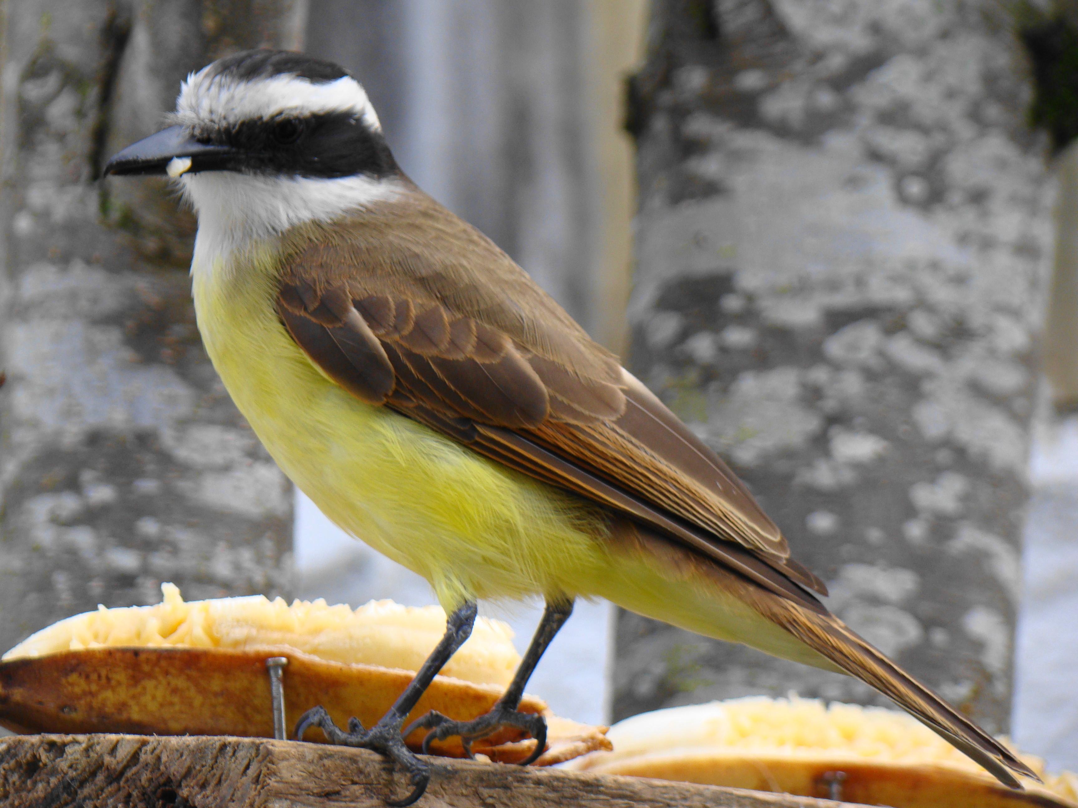 O Bem-Te-Vi (Pitangus sulphuratus) está entre as espécies com mais registros. Foto: Carlos Meireles/Wikipedia.