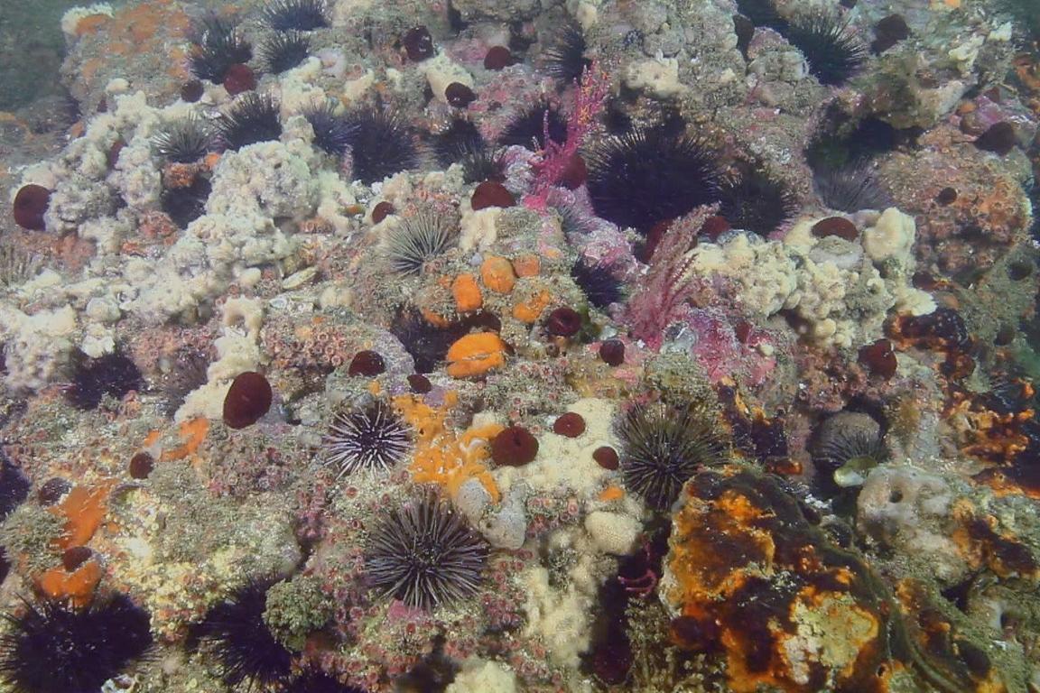 Beleza desconhecida. Coral da Baía de Guanabara é um nobre desconhecido dos cariocas. Foto: Ricardo Gomes.
