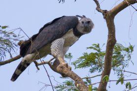 Harpia adulta empoleirada sobre um galho e observando seus observadores. Foto: Acervo pessoal.