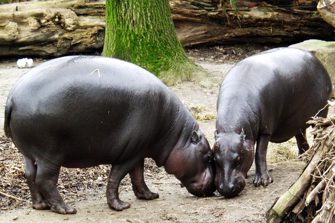 O Parque Nacional de Sapo abriga a maior população de hipopótamo-pigmeu da Libéria. Foto: Wikipedia.