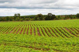 O Brasil é o maior exportador de soja para a Europa. Foto: Marilze Venturelli Bernardes.