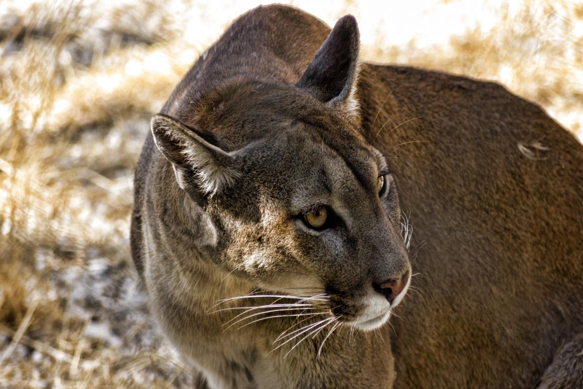 A onça-parda (Puma concolor) é um felino nativo das Américas. Foto: Tristan Farsac.