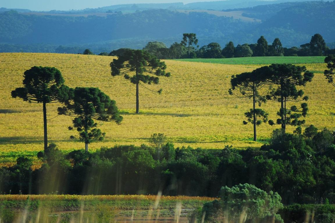 Quanto menor o fragmento de floresta, menor a densidade da espécie e menor disponibilidade de sementes. Foto: Lizandro Chrestenzen/Flickr.