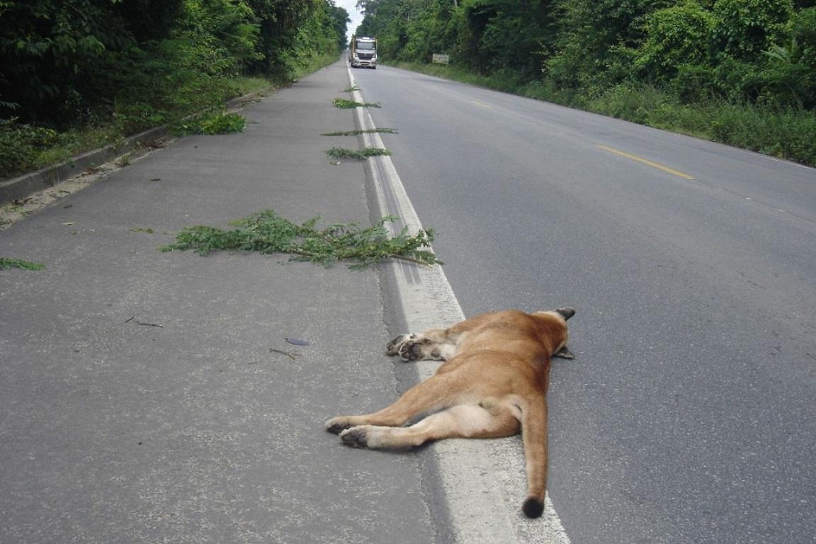 Onça parda atropelada na beira da estrada. Foto: Valdir Santos.
