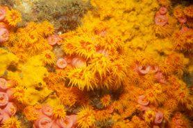 No estado do Rio, os locais que apresentam maior incidência do Coral-Sol são:  Arraial do Cabo, Búzios, Mangaratiba, Paraty e Rio de Janeiro. Mas Ilha Grande é a área mais infestada. Foto: Laszlo Ilyes/Flickr.