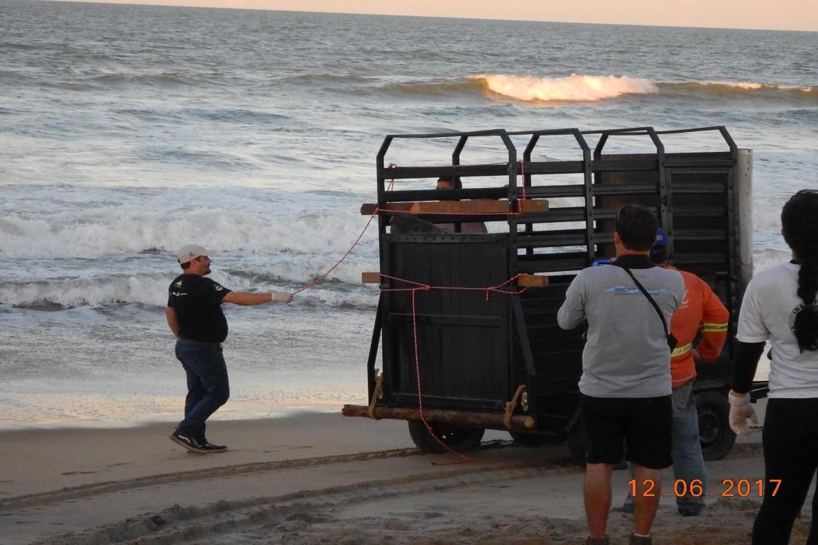 Fred sendo preparado para ser devolvido para o mar. Foto: Instituto Baleia Jubarte