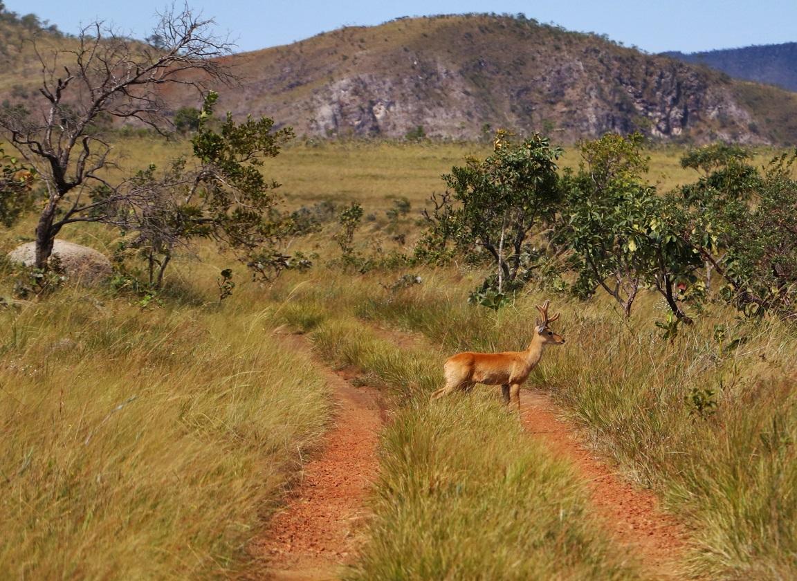 Veado-campeiro atravessa calmamente o nosso caminho. Foto: Duda Menegassi.