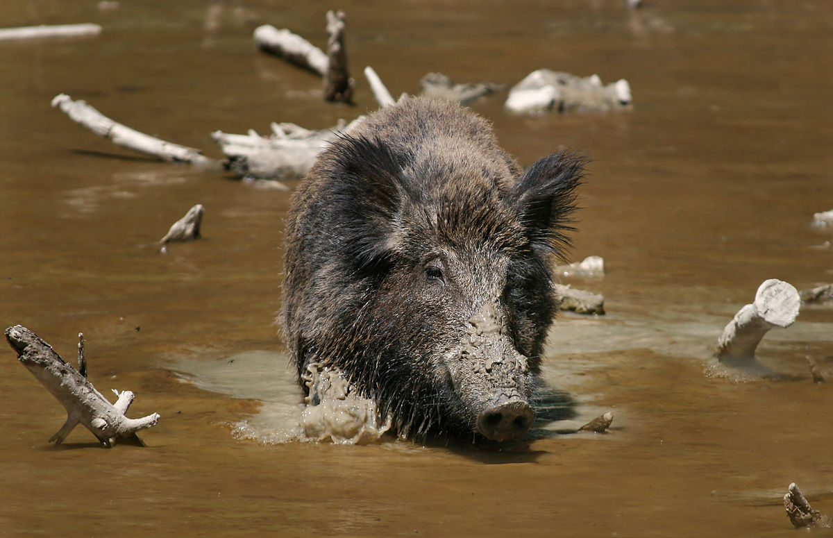 O javali é um animal feroz e afugenta os predadores locais. Foto: Richard Bartz/ Wikipedia.
