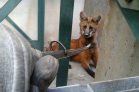 Assustado, Lobo-guará se refugiu numa fábrica para fugir do cerco do Corpo de Bombeiros. Foto: Divulgação/Corpo de Bombeiros/SP.