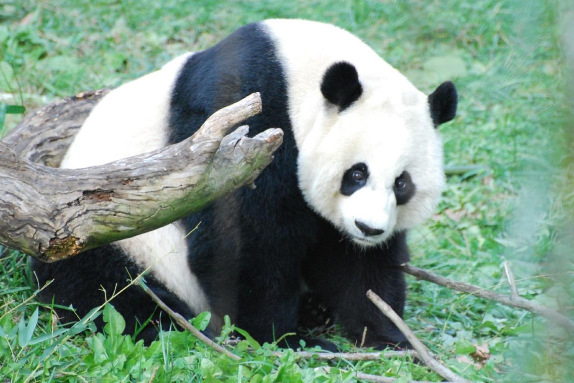 O nascimento do Panda no Zoológico Ueno, no Japão, representa um alento, pois os pandas são animais de reprodução e crescimento muito lentos. Foto: John Sonderman/Flickr.