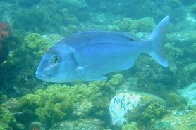 O Ministério Público Federal do Espírito Santo pediu a anulação da portaria nº445/2014, na parte onde proíbe a pesca de oito espécies de peixes, entre eles, o Pargo (Pragus pagrus). Foto: Antonio Guerra/Flickr.